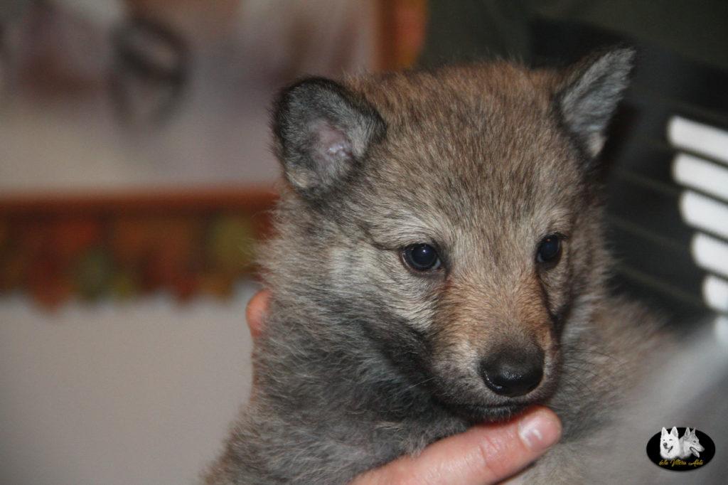 Cuccioli B cane lupo cecoslovacco della Vittoria Alata - Lara Croft Lupimax X Haron Lupi del Nord-28