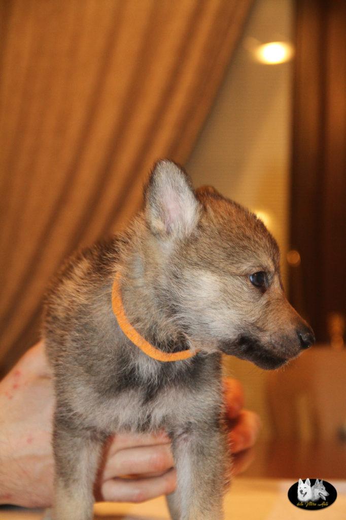 Cuccioli B cane lupo cecoslovacco della Vittoria Alata - Lara Croft Lupimax X Haron Lupi del Nord-29