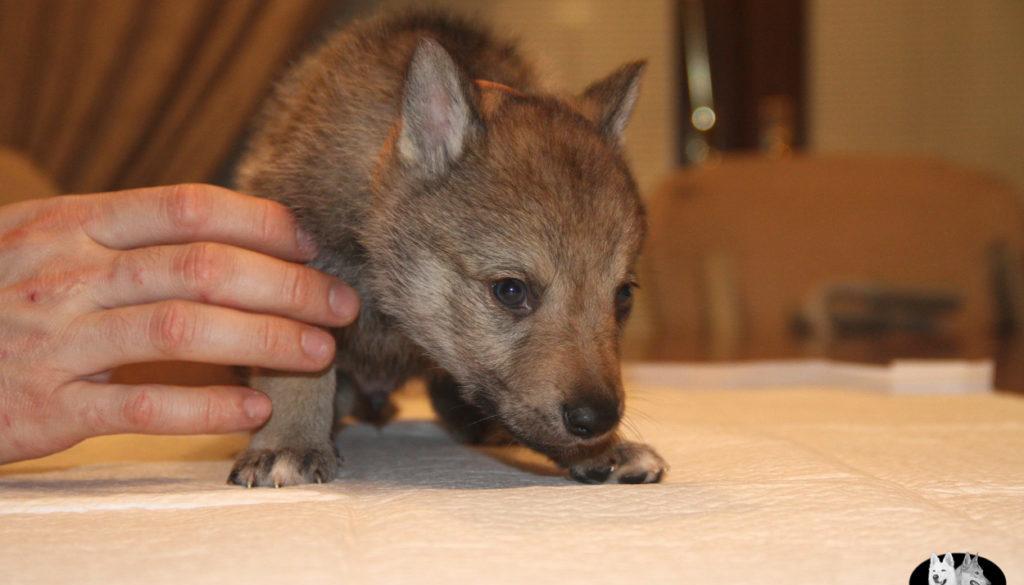 Cuccioli B cane lupo cecoslovacco della Vittoria Alata - Lara Croft Lupimax X Haron Lupi del Nord-30