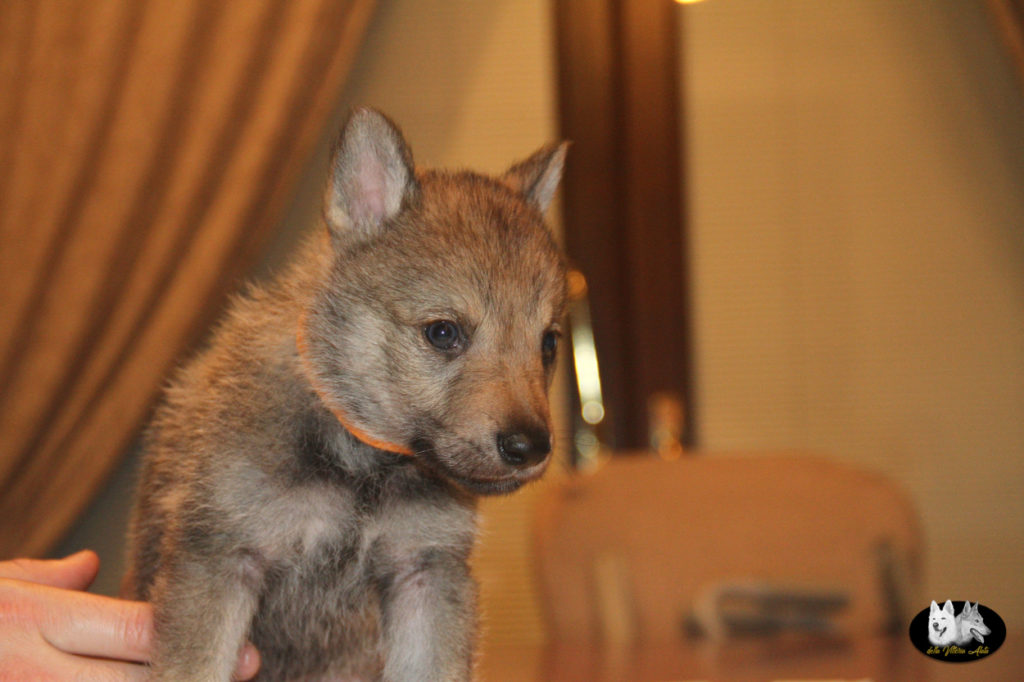 Cuccioli B cane lupo cecoslovacco della Vittoria Alata - Lara Croft Lupimax X Haron Lupi del Nord-31