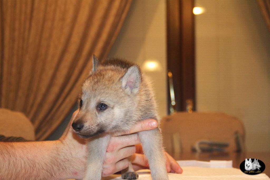 Cuccioli B cane lupo cecoslovacco della Vittoria Alata - Lara Croft Lupimax X Haron Lupi del Nord-32