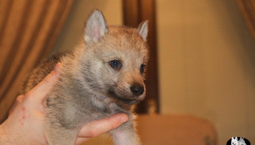 Cuccioli B cane lupo cecoslovacco della Vittoria Alata - Lara Croft Lupimax X Haron Lupi del Nord-33