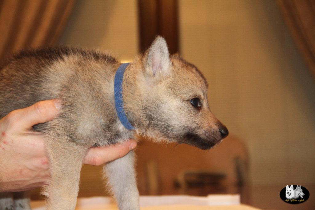 Cuccioli B cane lupo cecoslovacco della Vittoria Alata - Lara Croft Lupimax X Haron Lupi del Nord-34
