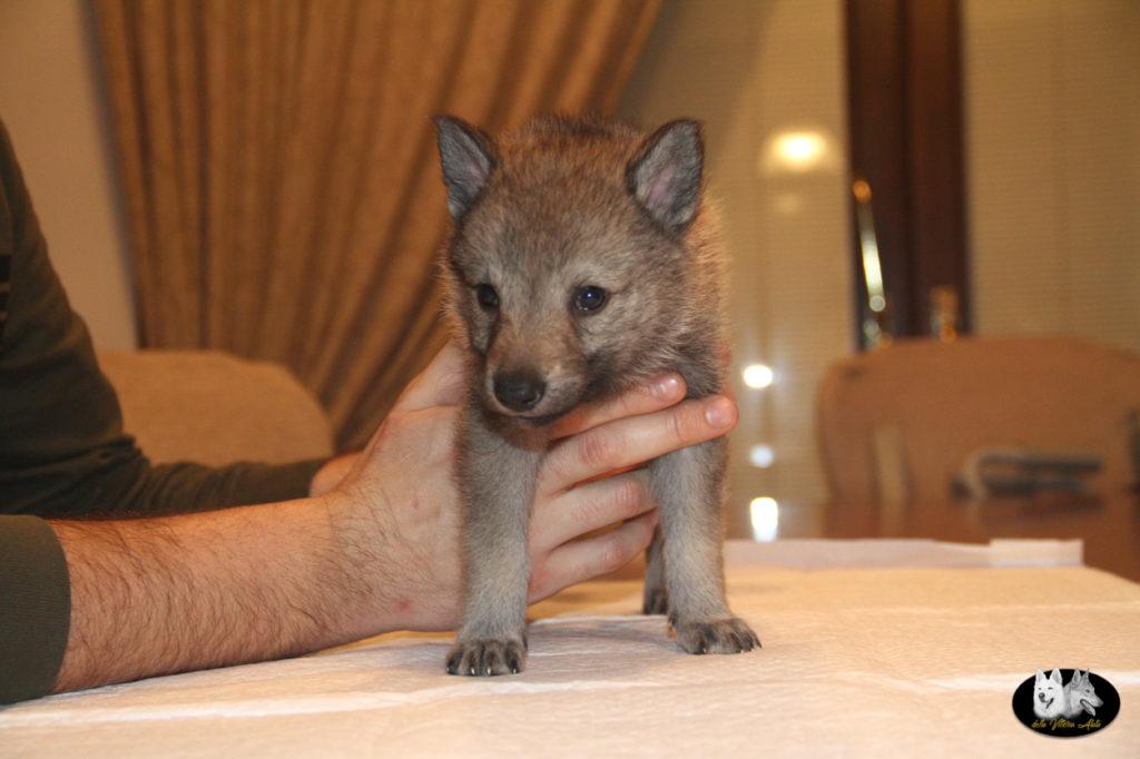 Cuccioli B cane lupo cecoslovacco della Vittoria Alata - Lara Croft Lupimax X Haron Lupi del Nord-35
