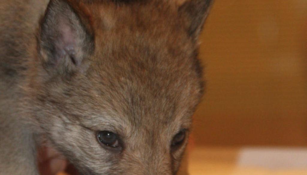 Cuccioli B cane lupo cecoslovacco della Vittoria Alata - Lara Croft Lupimax X Haron Lupi del Nord-36