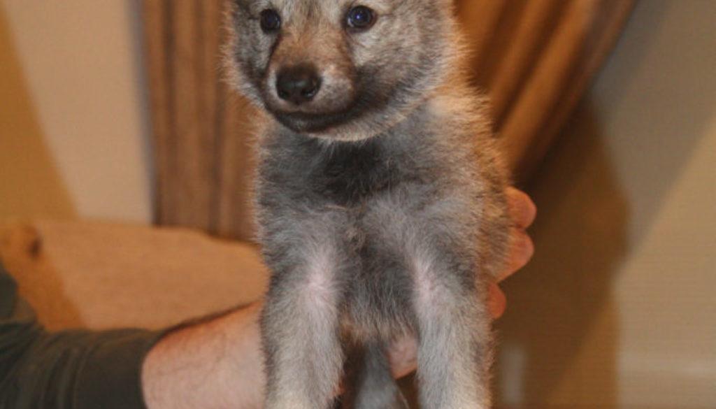 Cuccioli B cane lupo cecoslovacco della Vittoria Alata - Lara Croft Lupimax X Haron Lupi del Nord-37