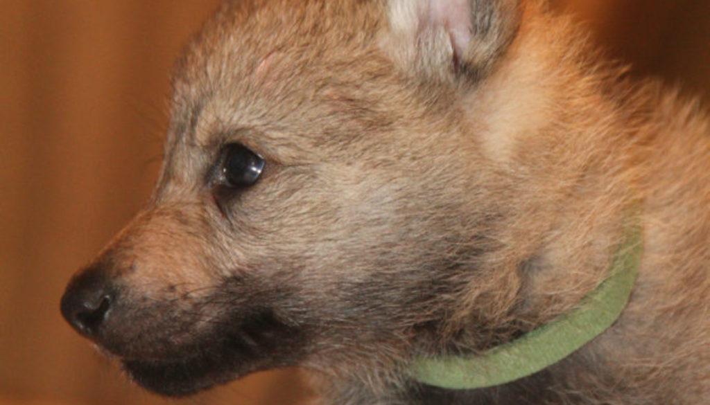 Cuccioli B cane lupo cecoslovacco della Vittoria Alata - Lara Croft Lupimax X Haron Lupi del Nord-38