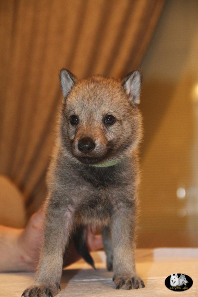 Cuccioli B cane lupo cecoslovacco della Vittoria Alata - Lara Croft Lupimax X Haron Lupi del Nord-39
