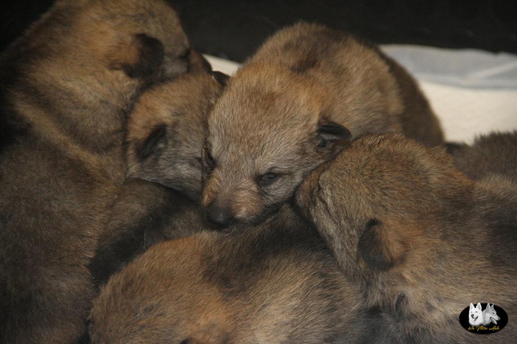 Cuccioli B cane lupo cecoslovacco della Vittoria Alata - Lara Croft Lupimax X Haron Lupi del Nord-4