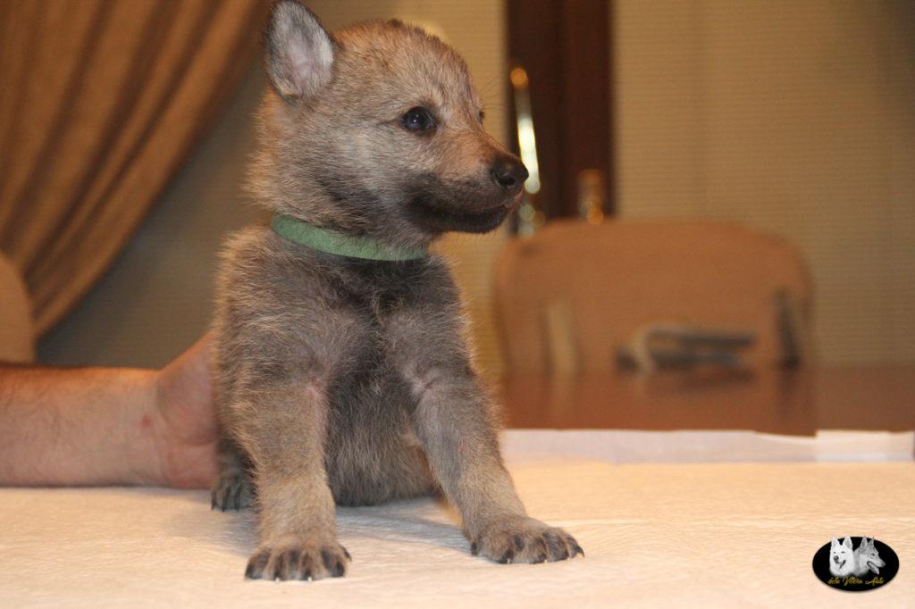 Cuccioli B cane lupo cecoslovacco della Vittoria Alata - Lara Croft Lupimax X Haron Lupi del Nord-40