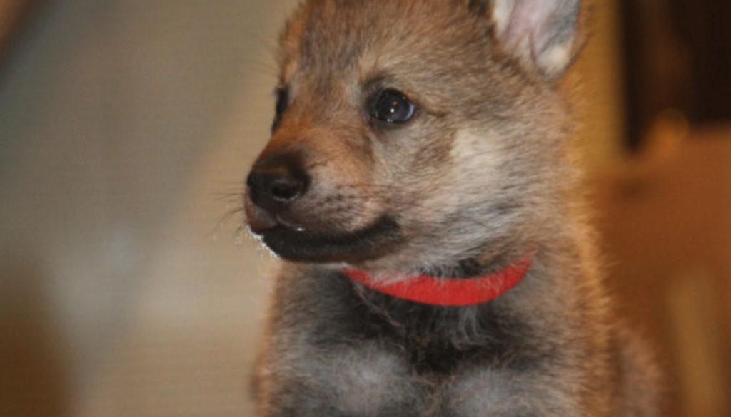 Cuccioli B cane lupo cecoslovacco della Vittoria Alata - Lara Croft Lupimax X Haron Lupi del Nord-41