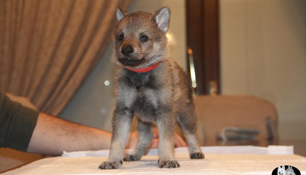 Cuccioli B cane lupo cecoslovacco della Vittoria Alata - Lara Croft Lupimax X Haron Lupi del Nord-42