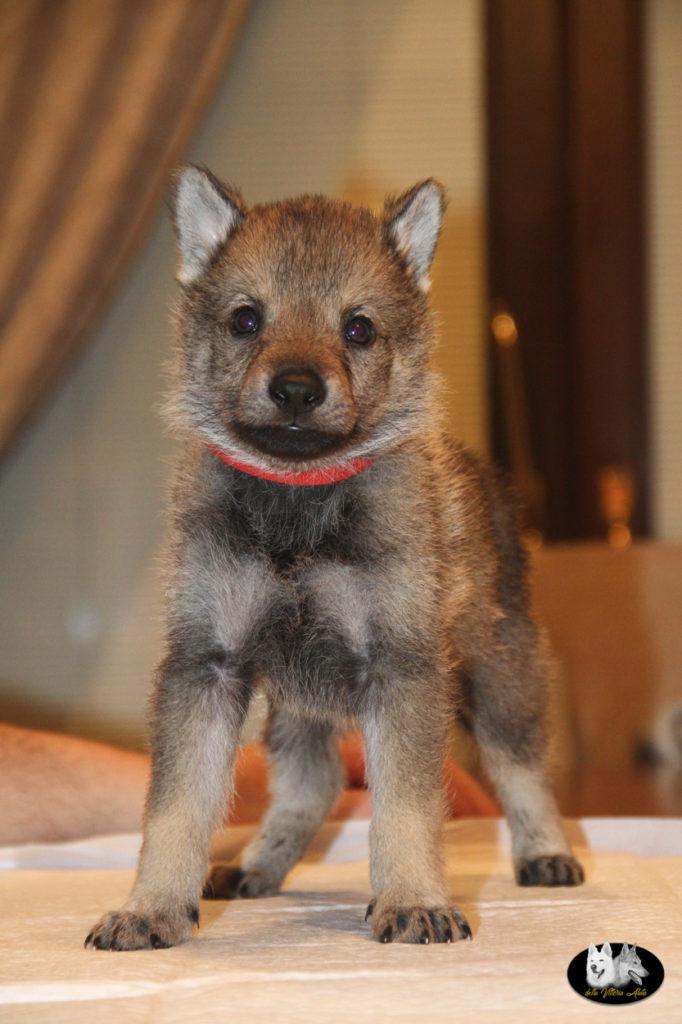 Cuccioli B cane lupo cecoslovacco della Vittoria Alata - Lara Croft Lupimax X Haron Lupi del Nord-43