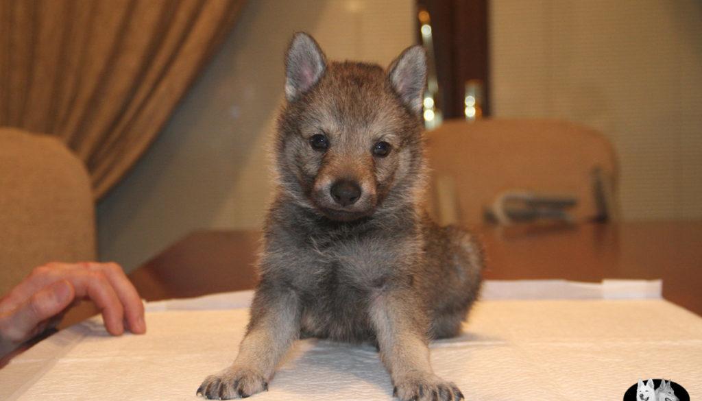 Cuccioli B cane lupo cecoslovacco della Vittoria Alata - Lara Croft Lupimax X Haron Lupi del Nord-45