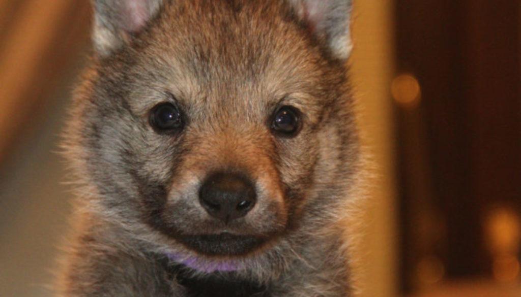 Cuccioli B cane lupo cecoslovacco della Vittoria Alata - Lara Croft Lupimax X Haron Lupi del Nord-46
