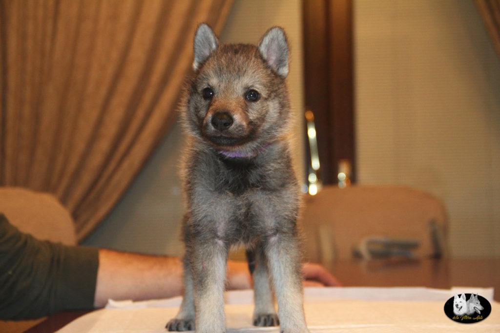 Cuccioli B cane lupo cecoslovacco della Vittoria Alata - Lara Croft Lupimax X Haron Lupi del Nord-47