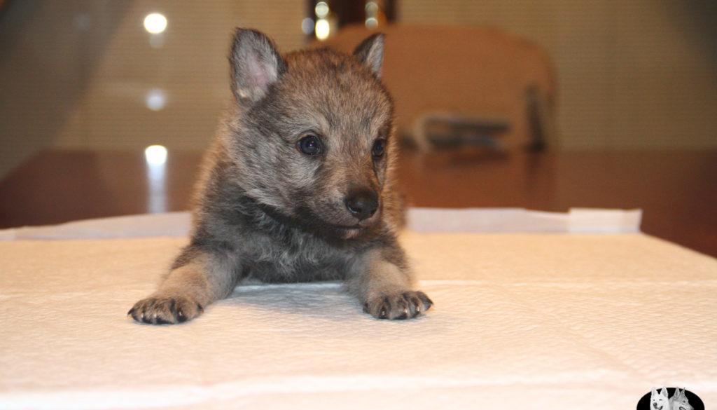 Cuccioli B cane lupo cecoslovacco della Vittoria Alata - Lara Croft Lupimax X Haron Lupi del Nord-48
