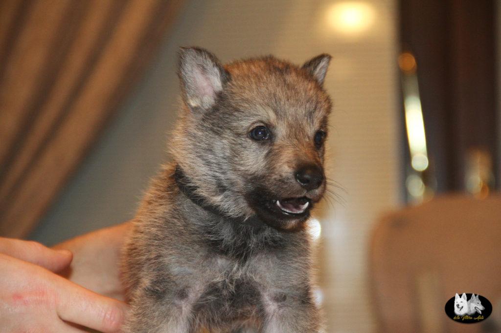 Cuccioli B cane lupo cecoslovacco della Vittoria Alata - Lara Croft Lupimax X Haron Lupi del Nord-49