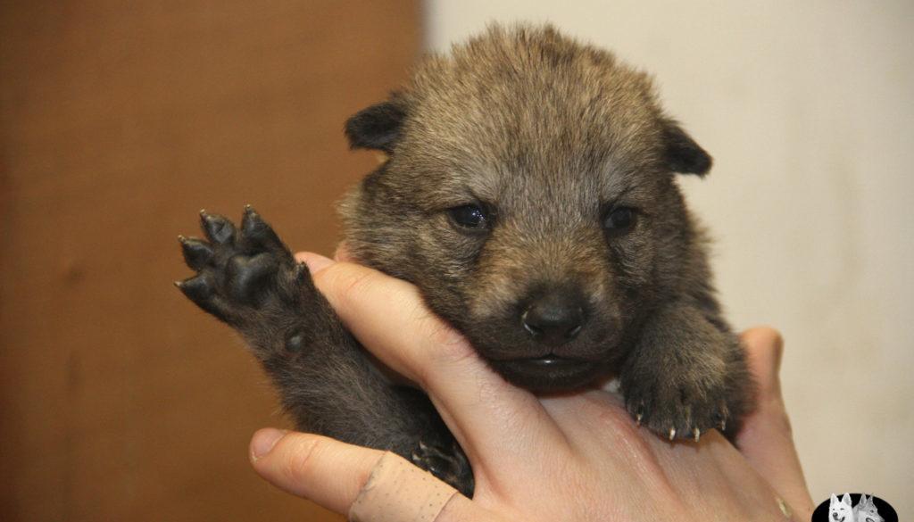 Cuccioli B cane lupo cecoslovacco della Vittoria Alata - Lara Croft Lupimax X Haron Lupi del Nord-5