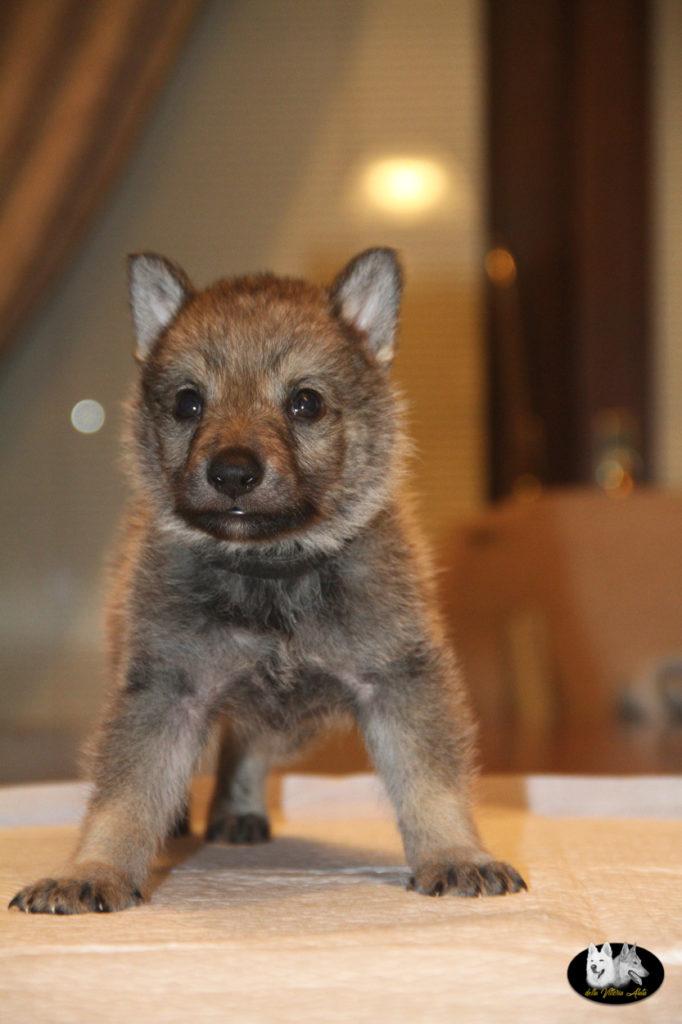 Cuccioli B cane lupo cecoslovacco della Vittoria Alata - Lara Croft Lupimax X Haron Lupi del Nord-50