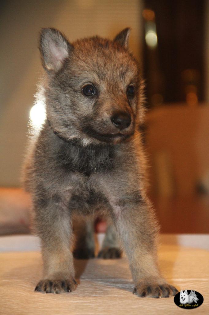 Cuccioli B cane lupo cecoslovacco della Vittoria Alata - Lara Croft Lupimax X Haron Lupi del Nord-51