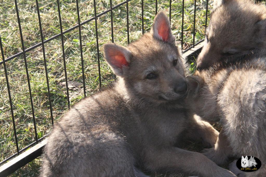 Cuccioli B cane lupo cecoslovacco della Vittoria Alata - Lara Croft Lupimax X Haron Lupi del Nord-52