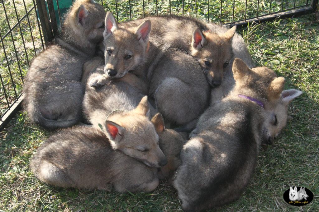 Cuccioli B cane lupo cecoslovacco della Vittoria Alata - Lara Croft Lupimax X Haron Lupi del Nord-53