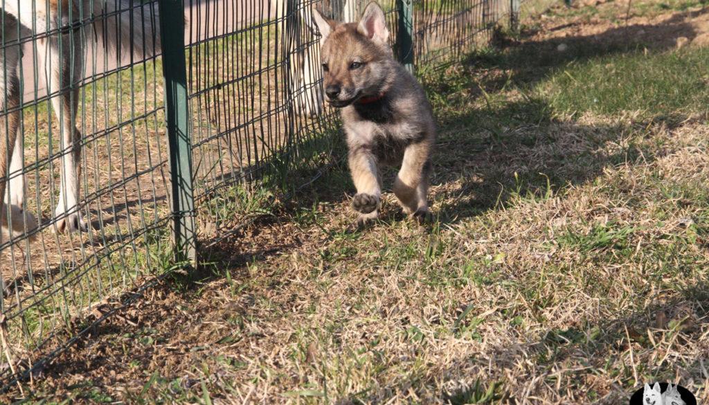 Cuccioli B cane lupo cecoslovacco della Vittoria Alata - Lara Croft Lupimax X Haron Lupi del Nord-55
