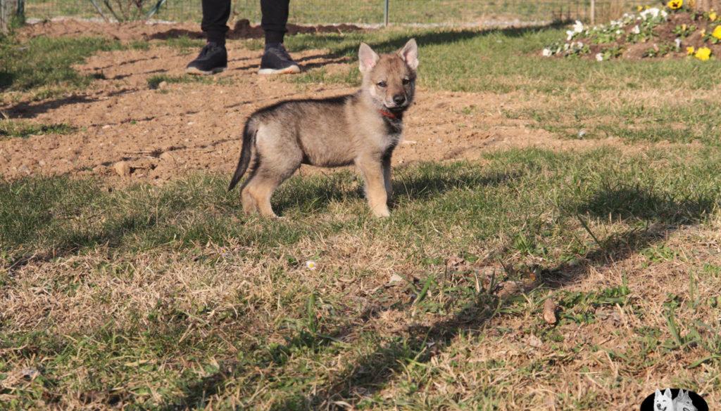 Cuccioli B cane lupo cecoslovacco della Vittoria Alata - Lara Croft Lupimax X Haron Lupi del Nord-56