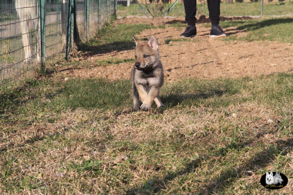 Cuccioli B cane lupo cecoslovacco della Vittoria Alata - Lara Croft Lupimax X Haron Lupi del Nord-57