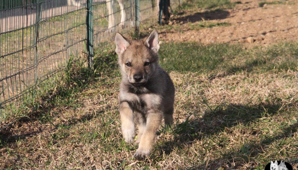 Cuccioli B cane lupo cecoslovacco della Vittoria Alata - Lara Croft Lupimax X Haron Lupi del Nord-58