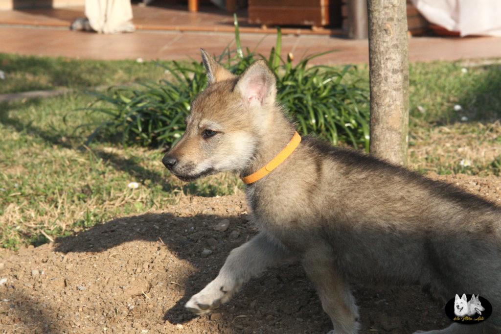 Cuccioli B cane lupo cecoslovacco della Vittoria Alata - Lara Croft Lupimax X Haron Lupi del Nord-59