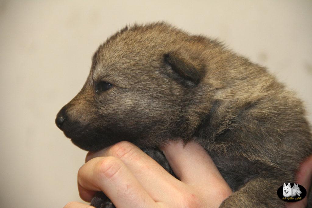 Cuccioli B cane lupo cecoslovacco della Vittoria Alata - Lara Croft Lupimax X Haron Lupi del Nord-6