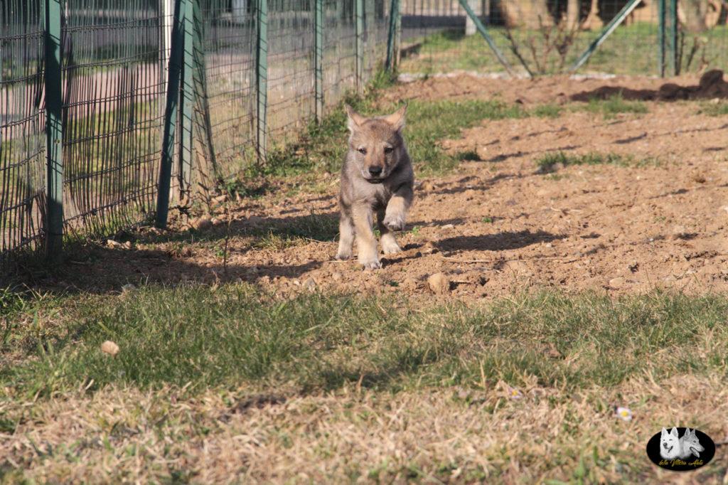 Cuccioli B cane lupo cecoslovacco della Vittoria Alata - Lara Croft Lupimax X Haron Lupi del Nord-60