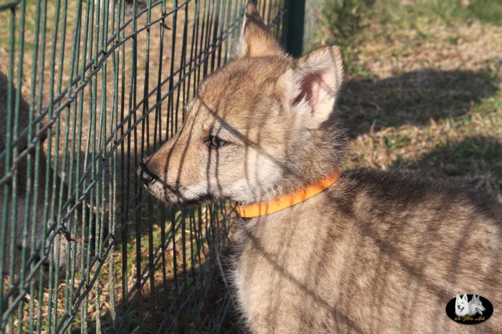 Cuccioli B cane lupo cecoslovacco della Vittoria Alata - Lara Croft Lupimax X Haron Lupi del Nord-61