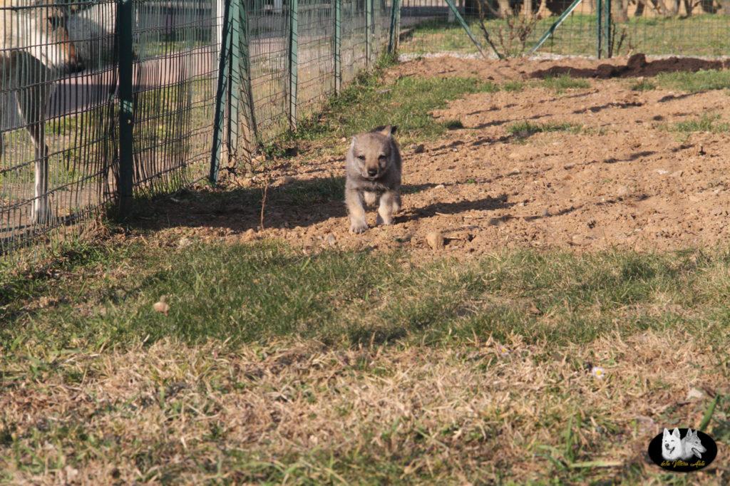 Cuccioli B cane lupo cecoslovacco della Vittoria Alata - Lara Croft Lupimax X Haron Lupi del Nord-62
