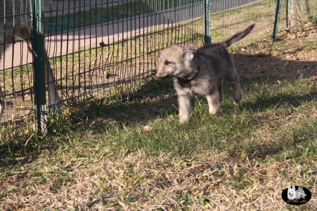 Cuccioli B cane lupo cecoslovacco della Vittoria Alata - Lara Croft Lupimax X Haron Lupi del Nord-63