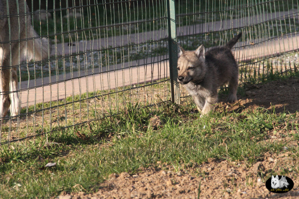 Cuccioli B cane lupo cecoslovacco della Vittoria Alata - Lara Croft Lupimax X Haron Lupi del Nord-64