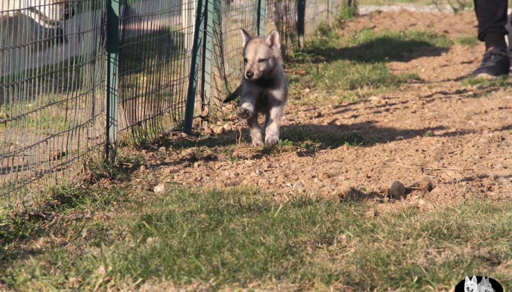 Cuccioli B cane lupo cecoslovacco della Vittoria Alata - Lara Croft Lupimax X Haron Lupi del Nord-65