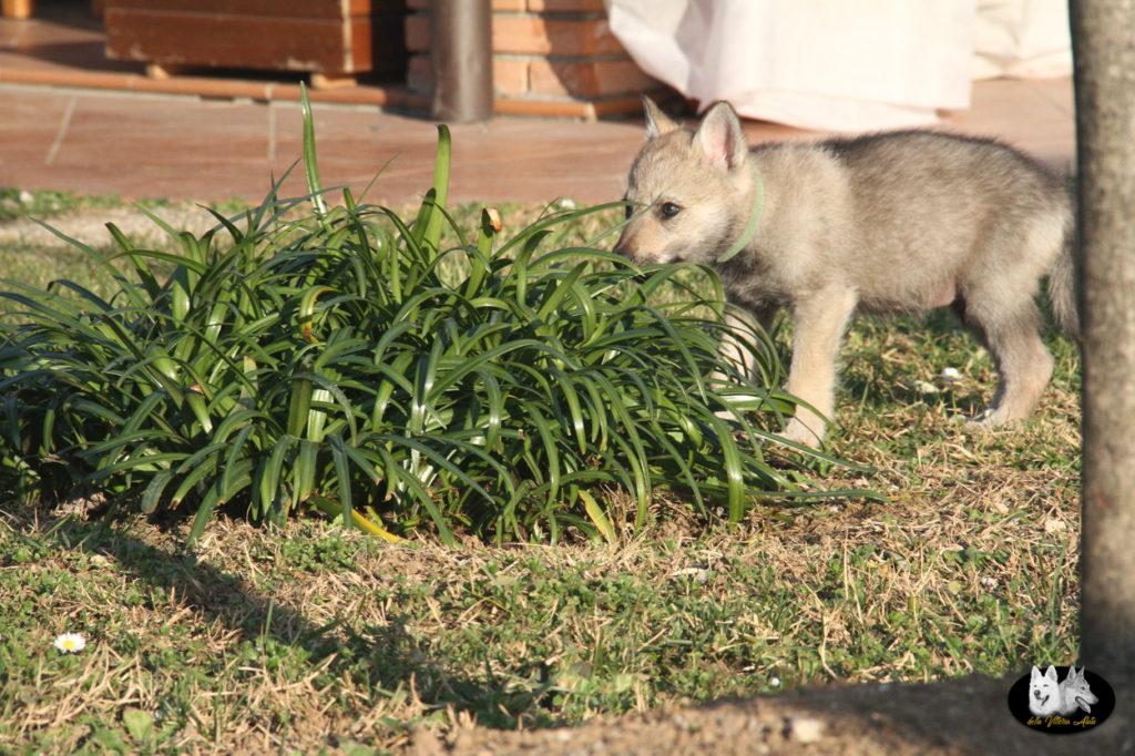 Cuccioli B cane lupo cecoslovacco della Vittoria Alata - Lara Croft Lupimax X Haron Lupi del Nord-66