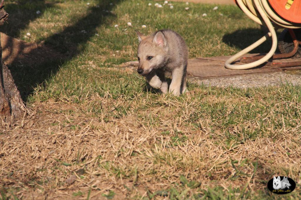 Cuccioli B cane lupo cecoslovacco della Vittoria Alata - Lara Croft Lupimax X Haron Lupi del Nord-67