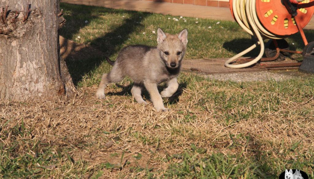 Cuccioli B cane lupo cecoslovacco della Vittoria Alata - Lara Croft Lupimax X Haron Lupi del Nord-68