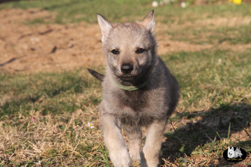 Cuccioli B cane lupo cecoslovacco della Vittoria Alata - Lara Croft Lupimax X Haron Lupi del Nord-69