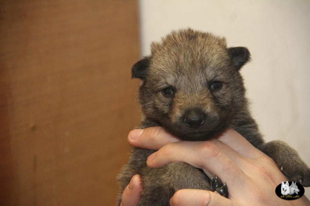 Cuccioli B cane lupo cecoslovacco della Vittoria Alata - Lara Croft Lupimax X Haron Lupi del Nord-7