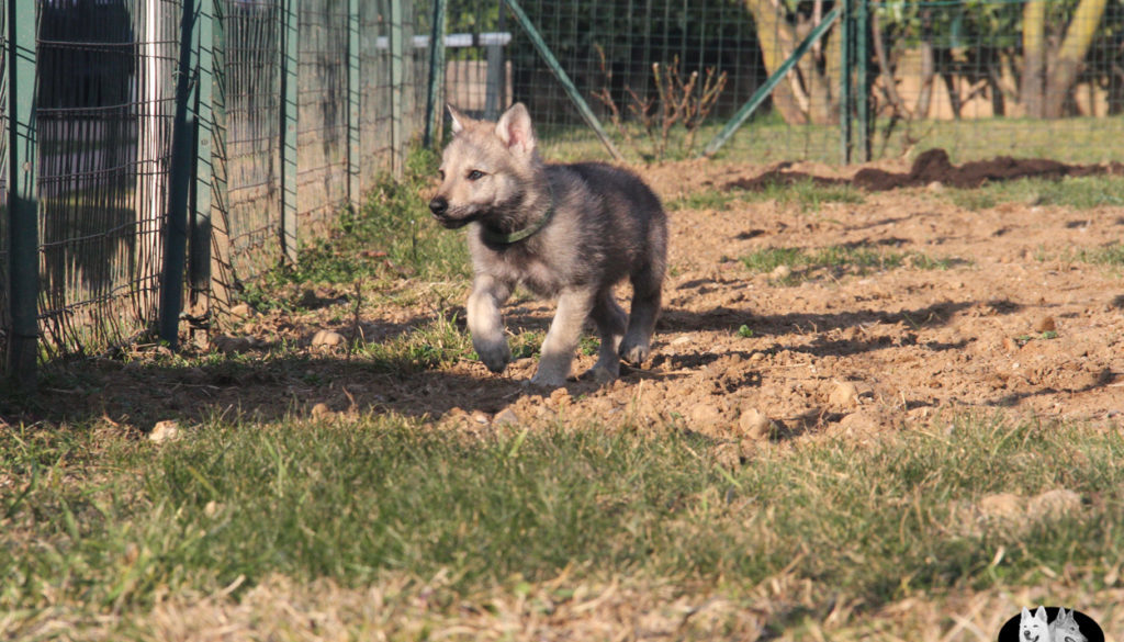 Cuccioli B cane lupo cecoslovacco della Vittoria Alata - Lara Croft Lupimax X Haron Lupi del Nord-70
