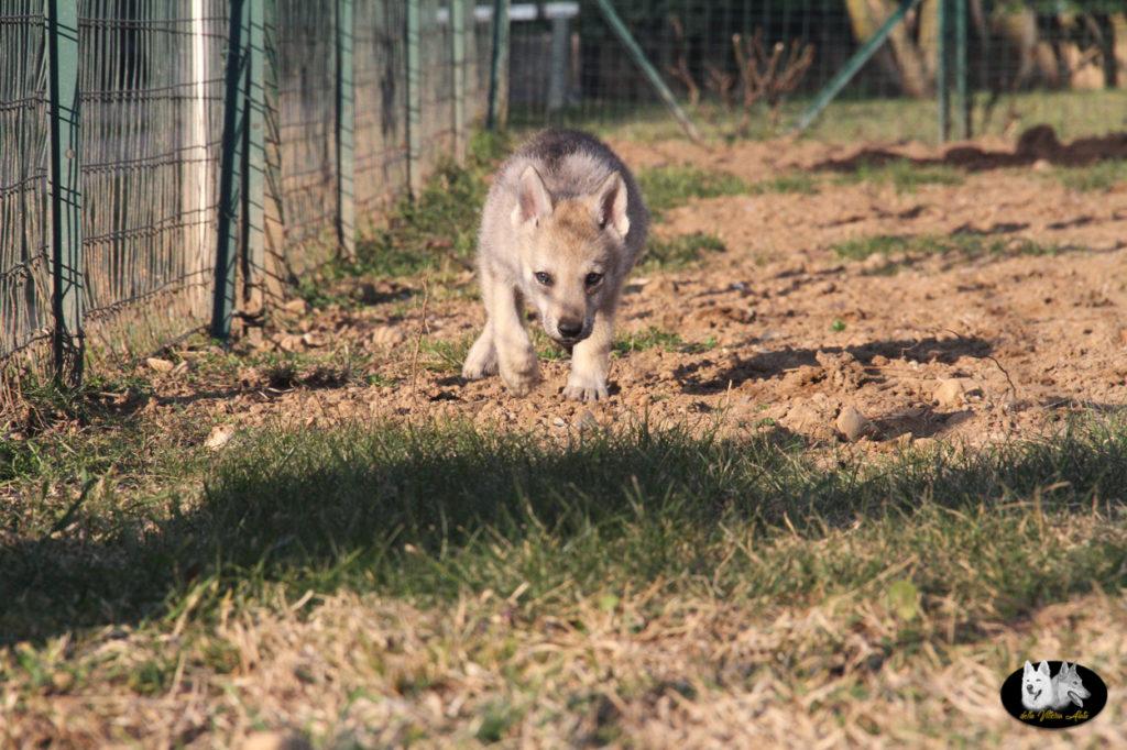Cuccioli B cane lupo cecoslovacco della Vittoria Alata - Lara Croft Lupimax X Haron Lupi del Nord-71