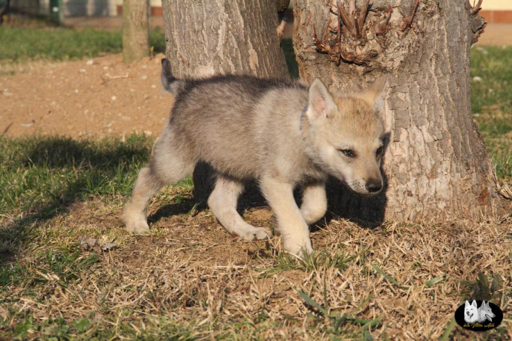 Cuccioli B cane lupo cecoslovacco della Vittoria Alata - Lara Croft Lupimax X Haron Lupi del Nord-72