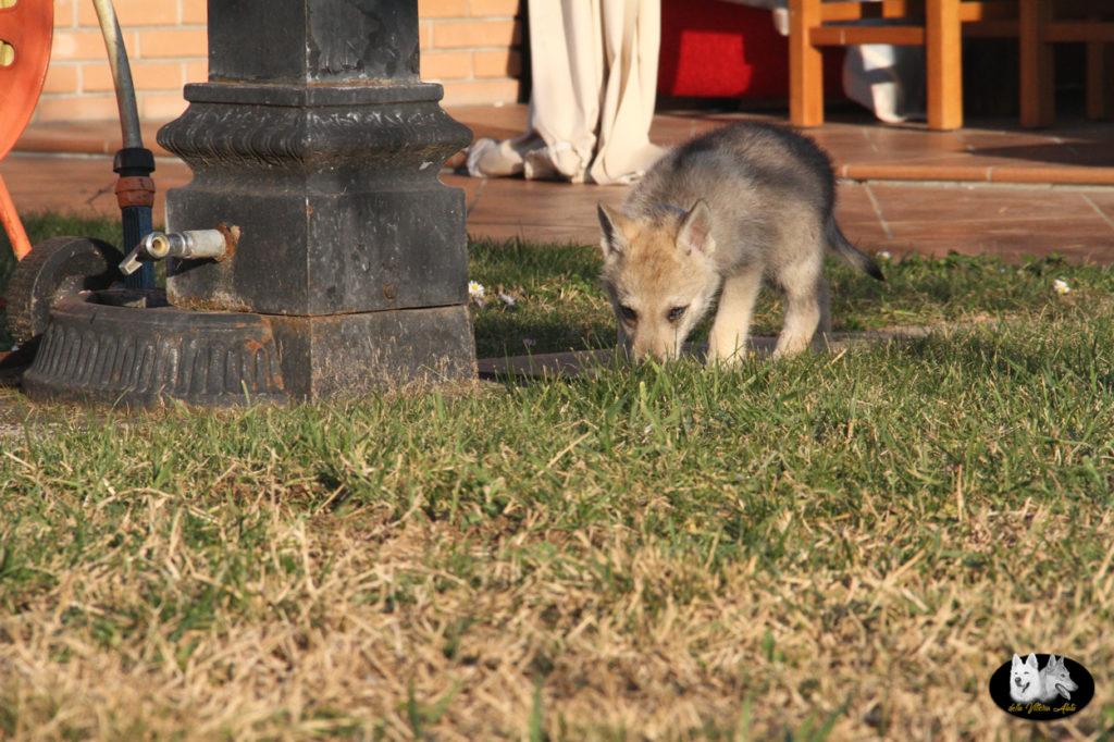 Cuccioli B cane lupo cecoslovacco della Vittoria Alata - Lara Croft Lupimax X Haron Lupi del Nord-73