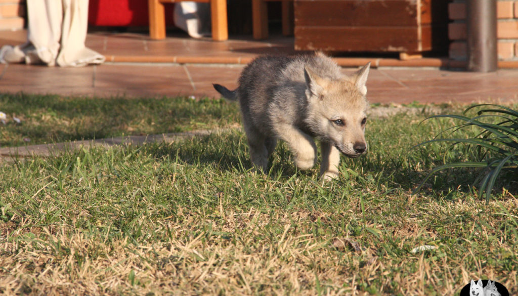 Cuccioli B cane lupo cecoslovacco della Vittoria Alata - Lara Croft Lupimax X Haron Lupi del Nord-74