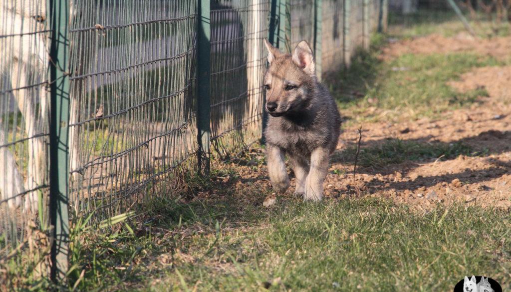 Cuccioli B cane lupo cecoslovacco della Vittoria Alata - Lara Croft Lupimax X Haron Lupi del Nord-75